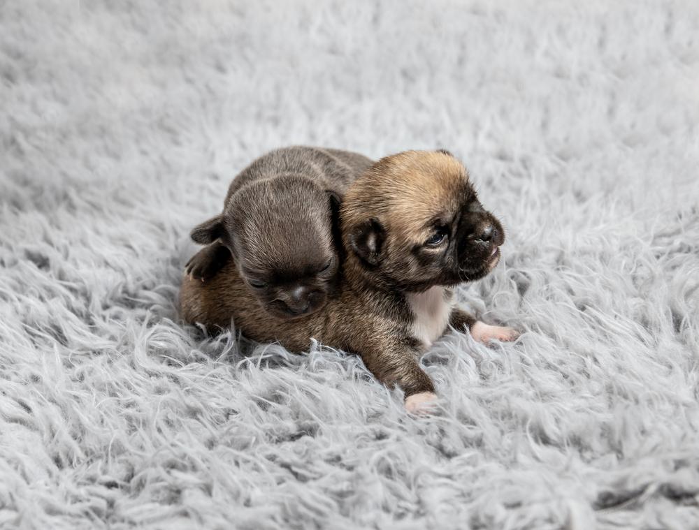 Kleine Chihuahua Rasse Welpen