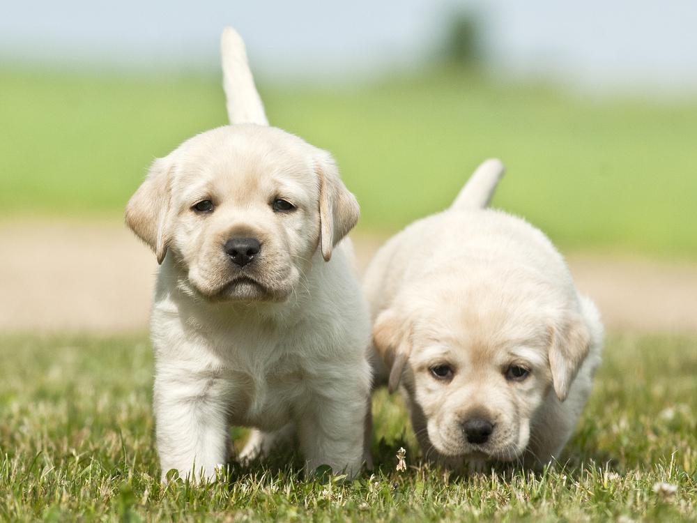 Zwei junge Labrador Welpen