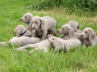 Weimaraner Vorsteherhunde Welpen mit Mutter