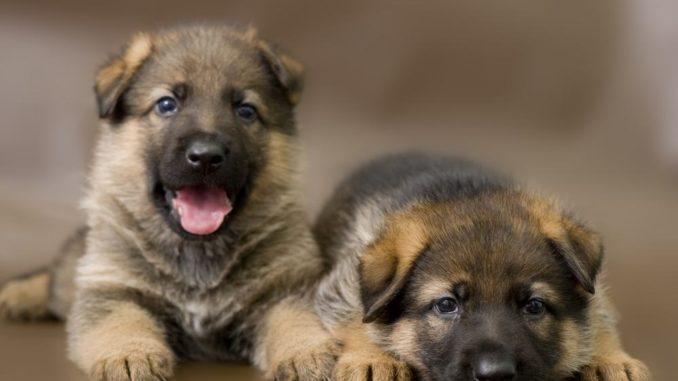 Schäferhund Welpen für Zwingerhaltung