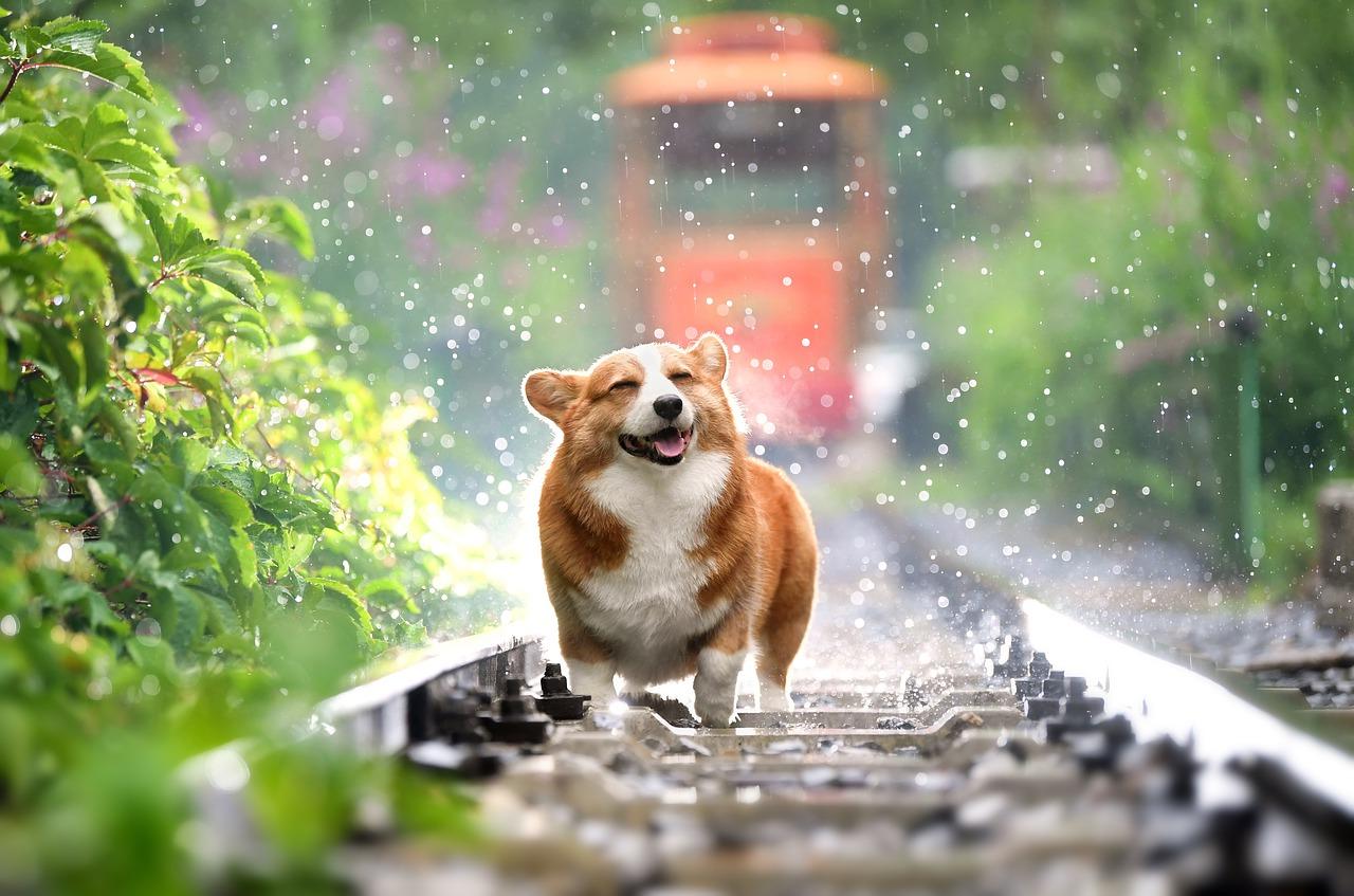 gluecklicher-corgi-doge-hund-verspielt
